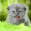 Scottish Kitty — Stock Photo