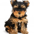 Yorkshire terrier — Stock Photo #9689475