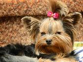 Small dog — Stock Photo