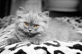 Scottish Kitty — Stock Photo