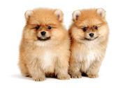 斯皮茨的狗 — 图库照片