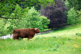 Vache highland écossaise — Photo