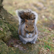 Grey Squirrel in the forest - Stock Photo
