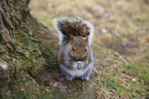Grey Squirrel in the forest — Stock Photo