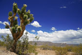 Joshua tree forest, Arizona,USA — Stock Photo