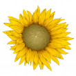 Stock Photo: Vector sunflower.