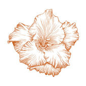 Gladiolus flower. — Stock Vector