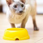 Hairless Cat Eating — Stock Photo