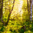Sunshine in Forest — Stock Photo #8985744