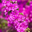 Bougainvillea Flower - Stock Photo