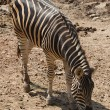 Zebra Eating - Stock Photo