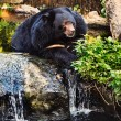 Malayan Sun Bear - Foto Stock
