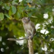 Jumping Macaque Monkey - Stock Photo