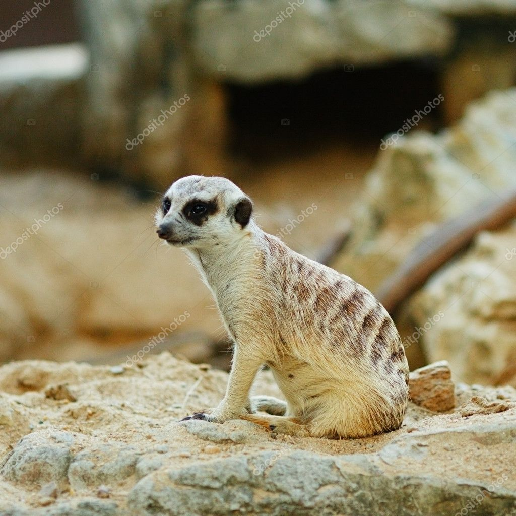 Small grey suricate sitting on a sand — Stock Photo #9051019