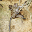 Macaque Monkey - Foto de Stock