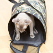 Hairless Cat in Carrier - Stock Photo