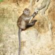 Stock Photo: Macaque Monkey