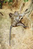 Makak maymunu — Stok fotoğraf