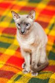 Hairless Cat — Stock Photo