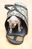 Hairless Cat in Carrier — Stock Photo