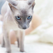 Hairless Cat — Stockfoto