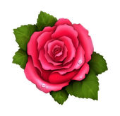 Illustration of pink rose — Stock Photo