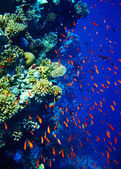 Group of coral fish water. — Stock Photo
