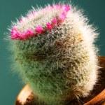 Постер, плакат: Cactus mammillaria