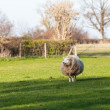 Large round sheep in meadow in Wales - Stock Photo