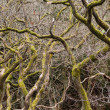 Gnarled branches of many trees — Stock fotografie
