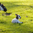 Black and white lamb in meadow — Stock Photo #10066308