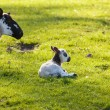 Black and white lamb in meadow — Stock Photo