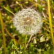 Head of dandelion in macro — Stock Photo
