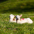 Pair of welsh lambs in meadow — Stock Photo
