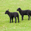 Pair of black welsh lambs in meadow - Photo