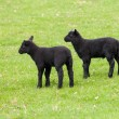 Pair of black welsh lambs in meadow — Stock Photo #10069116