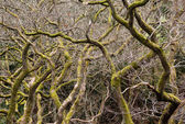Gnarled branches of many trees — Stock Photo