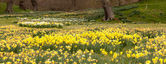 Daffodils surround trees in rural setting — Stock Photo