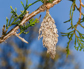 Bagworm on pine fir tree branch — Stock Photo