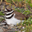 Stock Photo: Killdeer bird sitting on nest with young