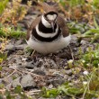 Killdeer bird sitting on nest with young — Stockfoto