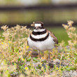 Killdeer bird defending its nest — Zdjęcie stockowe