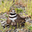Killdeer bird defending its nest - Stock Photo
