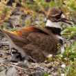 Killdeer bird sitting on nest with young — Stok fotoğraf