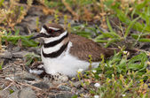 Killdeer bird sitting on nest with young — Stock Photo