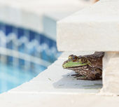 Bullfrog crouching under edge of pool — Stock Photo