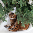 Bengal cat under Christmas tree — Stock Photo #7992293