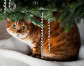 Bengal cat under Christmas tree — Stock Photo