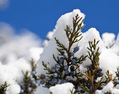 Snow falling on blue pine berries — Stock Photo