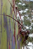 Trunk of eucalyptus tree — Stock Photo